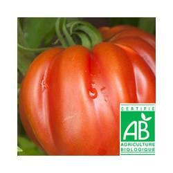 Tomate ancienne Coeur de boeuf rouge