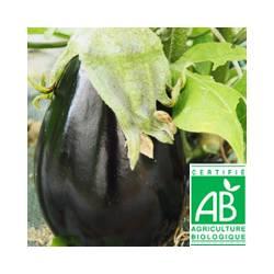 Aubergine noire [la pièce]
